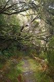 Het bos van de laurier op Madera Stock Afbeeldingen