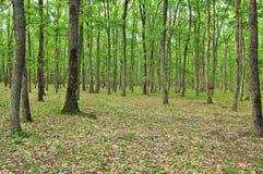 Het bos van de lente Royalty-vrije Stock Afbeelding