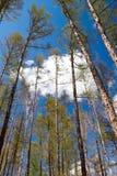 Het Bos van de lente - berk en lariks Royalty-vrije Stock Afbeelding