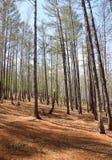 Het Bos van de lente - berk en lariks Stock Foto's