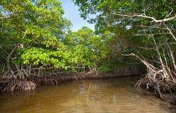 Het Bos van de mangrove Royalty-vrije Stock Afbeelding
