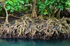 Het Bos van de mangrove met Duidelijke Natuurlijke Pool Royalty-vrije Stock Afbeelding