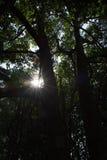 Het bos van de mangrove in Thailand Stock Afbeelding