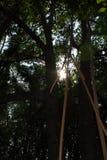 Het bos van de mangrove in Thailand Royalty-vrije Stock Fotografie