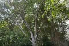Het bos van de mangrove in Thailand Royalty-vrije Stock Afbeeldingen
