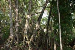 Het bos van de mangrove in Thailand Royalty-vrije Stock Afbeelding