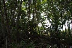 Het bos van de mangrove in Thailand Stock Foto's
