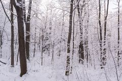 Het bos van de mirakelwinter door sneeuw wordt behandeld die Royalty-vrije Stock Foto