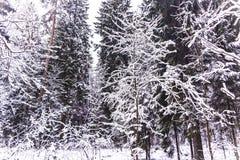 Het bos van de mirakelwinter door sneeuw wordt behandeld die Royalty-vrije Stock Fotografie