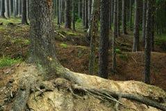 Het bos van de naaldboom Stock Afbeeldingen