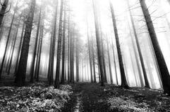 Het bos van de naaldboom in mist royalty-vrije stock foto