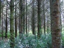 Het Bos van de pijnboom stock afbeeldingen