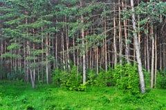 Het bos van de pijnboom Stock Fotografie