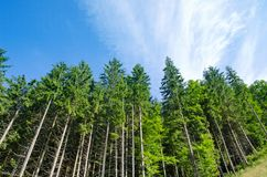 Het bos van de pijnboom Royalty-vrije Stock Afbeeldingen