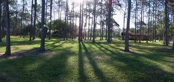 Het Bos van de pijnboom Stock Foto's