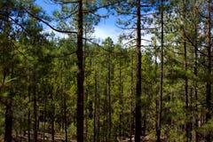 Het bos van de pijnboom Royalty-vrije Stock Foto
