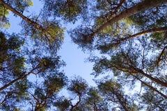 Het bos van de pijnboom Royalty-vrije Stock Fotografie