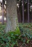 Het bos van de pijnboom Stock Foto