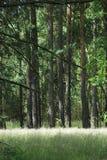 Het bos van de pijnboom Stock Afbeelding