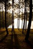 Het bos van de pijnboom bij Steek Aung Stock Afbeeldingen