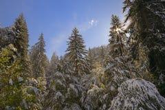Het bos van de pijnboom in de winter Royalty-vrije Stock Fotografie
