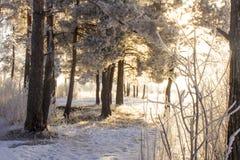 Het bos van de pijnboom in de winter Royalty-vrije Stock Foto's