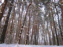 Het bos van de pijnboom in de winter Royalty-vrije Stock Foto