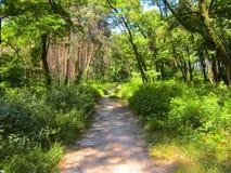 Het bos van de pijnboom in de zomer Stock Afbeeldingen