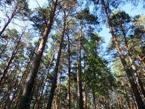 Het bos van de pijnboom in de zomer Stock Fotografie