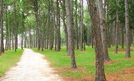 Het bos van de pijnboom en vuilweg Stock Foto's