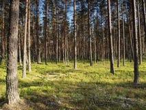 Het bos van de pijnboom in Estland Royalty-vrije Stock Afbeeldingen