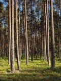 Het bos van de pijnboom in Estland Stock Afbeelding