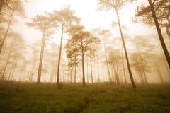 Het bos van de pijnboom met mist Royalty-vrije Stock Afbeeldingen
