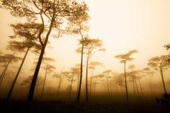 Het bos van de pijnboom met mist Stock Afbeelding