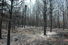 Het bos van de pijnboom na brand Stock Fotografie
