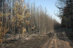 Het bos van de pijnboom na brand Stock Afbeeldingen