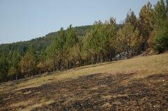 Het bos van de pijnboom na brand Stock Foto