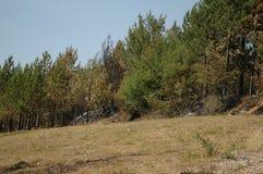Het bos van de pijnboom na brand Royalty-vrije Stock Foto's