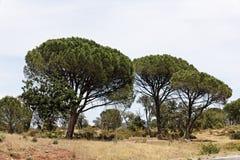 Het bos van de pijnboom (Pinus pinea), de Provence, Zuidelijk Frankrijk Stock Afbeelding