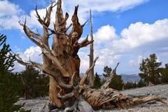 Het Bos van de Pijnboom van Bristlecone royalty-vrije stock afbeeldingen