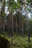 Het bos van de pijnboomboom Royalty-vrije Stock Foto
