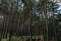 Het bos van de pijnboomboom Royalty-vrije Stock Foto's