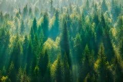 Het bos van de pijnboomboom stock foto
