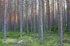 Het bos van de pijnboomboom Royalty-vrije Stock Afbeeldingen