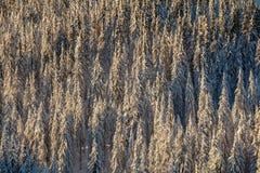 Het bos van de pijnboomboom stock afbeelding