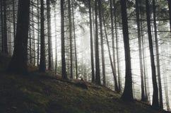 Het bos van de pijnboomboom met de mysteryous sparren van de misttrog Royalty-vrije Stock Foto