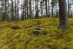 het bos van de pijnboomboom met mos behandelde grond in de recente herfst Royalty-vrije Stock Afbeelding