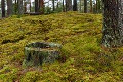 het bos van de pijnboomboom met mos behandelde grond in de recente herfst Stock Foto's