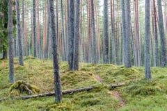het bos van de pijnboomboom met mos behandelde grond in de recente herfst Stock Afbeeldingen