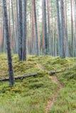 het bos van de pijnboomboom met mos behandelde grond in de recente herfst Stock Afbeelding